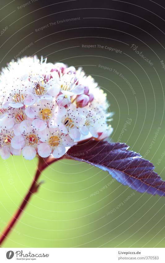 Blume Natur grün schön weiß Sommer Pflanze ruhig Blatt Umwelt Wärme Blüte natürlich Garten hell rosa