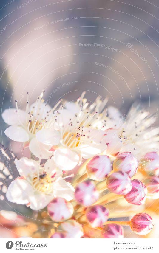 Unkraut Umwelt Natur Pflanze Sonne Sonnenlicht Sommer Blume Blatt Blüte Nutzpflanze Garten Park Blühend Duft leuchten ästhetisch hell schön weich Farbfoto