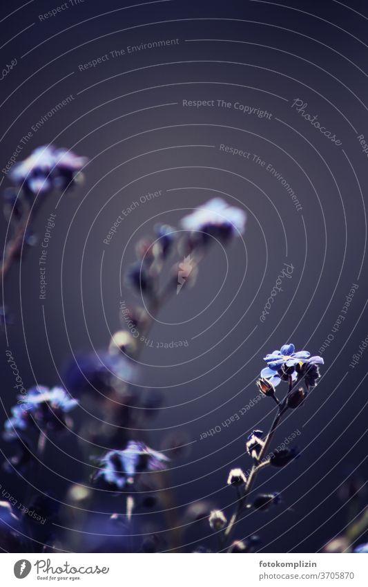 Vergißmeinnicht-Blüte in graublauer Unschärfe Blumenliebe Vergissmeinicht Naturliebe Vegetation Blühend Pflanze Gartenpflanzen Gedächtnis Hoffnung vergessen