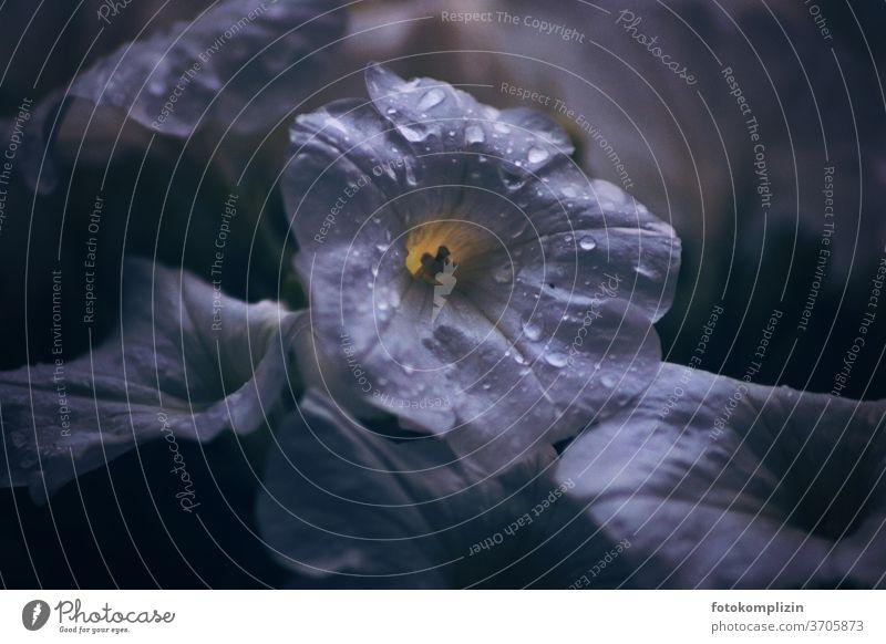 weiße Blüte mit leuchtenden Regentropfen im Dämmerlicht Petunien Nachtschattengewächse Makroaufnahme Blütenkelch Blütenblatt Blühend nass Tropfen Balkonblumen