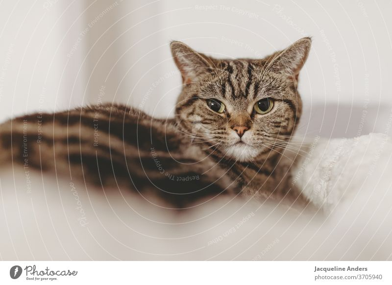 Katze schaut in die Kamera british kurzhaar Fell tabby Haustiere Rassekatze Britisch Kurzhaar Kratzbaum Bett Katzenbett Augen grün Portrait Katzenportrait