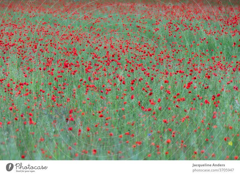 großes blühendes Mohnfeld rot riesig grün leuchtend Natur Pflanze Blume Sommer Blüte Mohnblüte Außenaufnahme Farbfoto Wiese Menschenleer Umwelt Landschaft