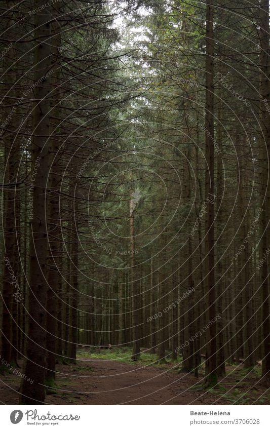 Waldeinsamkeit Ruhe Schatten Grün Spaziergang Einkehr Natur Außenaufnahme Landschaft Menschenleer Farbfoto Baum grün Licht ruhig Erholung Tannenbaum