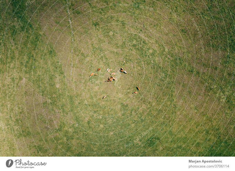Luftaufnahme von Kühen auf dem Feld oben Antenne landwirtschaftlich Ackerbau Tier Tiere schön Rindfleisch Zucht braun Land Landschaft Kuh Molkerei Tag heimisch