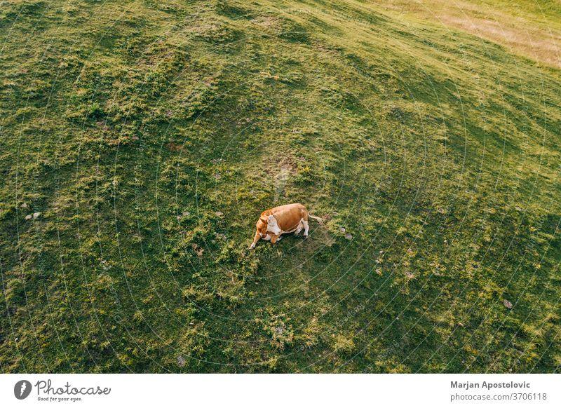 Luftaufnahme einer Kuh auf dem Feld bei Sonnenuntergang oben Antenne landwirtschaftlich allein angus Tier Hintergrund schön Rindfleisch braun Land Landschaft