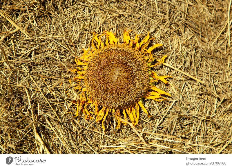 verwelkte getrocknete Sonnenblume im Stroh, auf einem Strohboden des Feldes. keine Menschen landwirtschaftliches Feld Natur Landwirtschaft ländliche Szene Blume