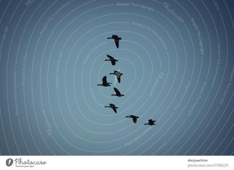 Ausflug der Großen Vögel am blauen Himmel. Formation Flug , in fast einer Reihe Vögel fliegen Luftverkehr Flügel dunkel Tag viele Farben Freiheit frei Vogel