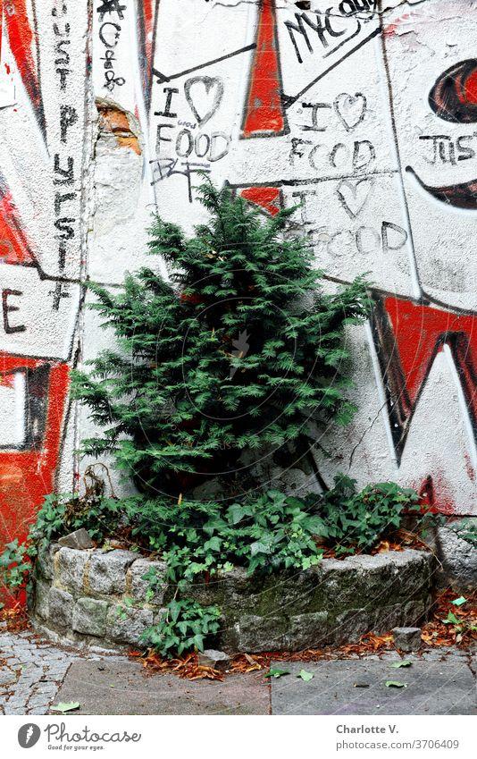 Stadtgrün I eingemauerte Konifere vor Graffiti Pflanze Natur Außenaufnahme Umwelt Bäumchen Farbfoto rot weiß Tag Efeu stadtgrün Grüne Stadt Schriftzeichen