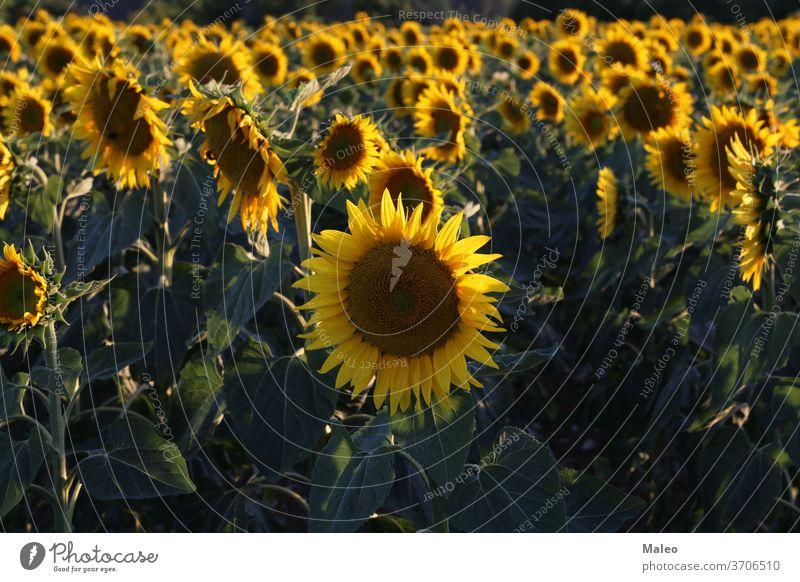 Gelbe Sonnenblume in einem Feld auf grünem Hintergrund Ackerbau schön Überstrahlung Blüte blau botanisch hell kreisen Nahaufnahme Cloud farbenfroh Farben Land