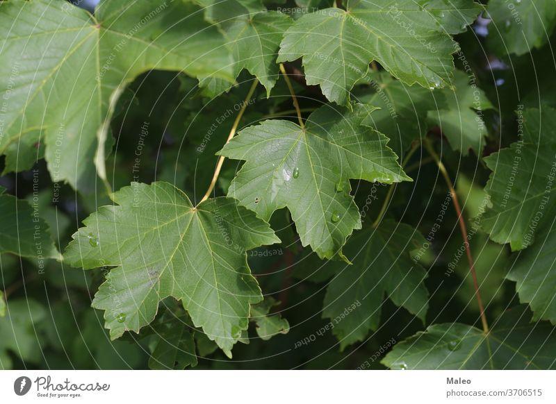 Grüne Blätter mit Feuchtigkeitstropfen nach Regen danach Hintergrund schön hell schließen Nahaufnahme Farbe Tau Tautropfen Tröpfchen Tropfen Umwelt Flora
