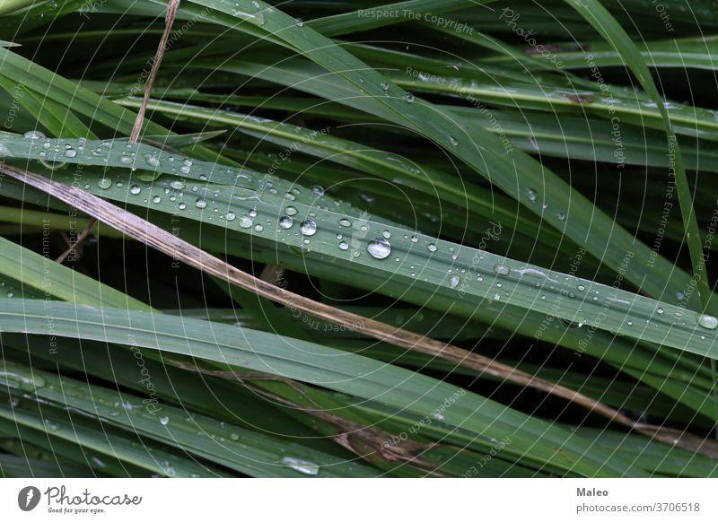 Grünes Gras ist mit Morgentautropfen bedeckt grün Umwelt Frische Natur Frühling hell Tau Garten Wachstum Tropfen Nahaufnahme Makro Sommer nass Hintergrund