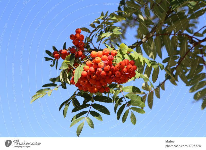 Rote Vogelbeeren auf den Zweigen des Vogelbeerbaums Asche Aschbeere Herbst Hintergrund Beeren botanisch Ast hell braun Haufen Buchse Farbe Laubwerk Wald Frucht
