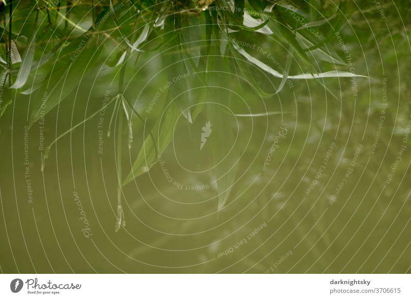 Pflanzen an einem Ufer spiegeln sich in einem Teich und erzeugen eine geheimnisvolle Stimmung Wasseroberfläche See Salix alba menschenleer textfreiraum
