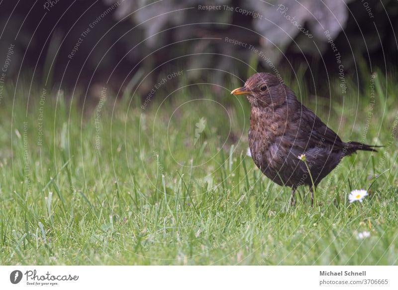 Amselweibchen auf einer Wiese Drossel Vogel Natur Tier Außenaufnahme Farbfoto Menschenleer Garten Tag Umwelt Schwache Tiefenschärfe Nahaufnahme Wildtier 1