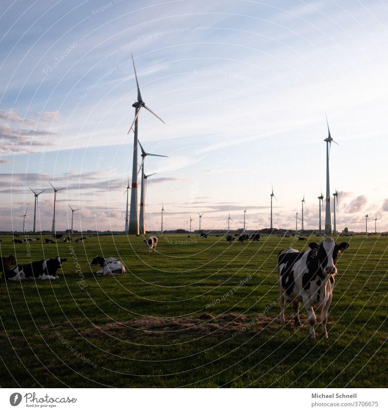 Kühe und Windräder Kuhherde Natur Außenaufnahme Nutztier Wiese Farbfoto Tier Weide Menschenleer Herde Tiergruppe Tag Landleben Windrad Stromerzeugung