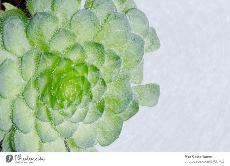 Sukkulente Pflanze mit Platz zum Kopieren. Kaktus Dekoration & Verzierung grün Hintergrund weiß Natur natürlich Raum Botanik klein Wachstum Innenbereich Blatt