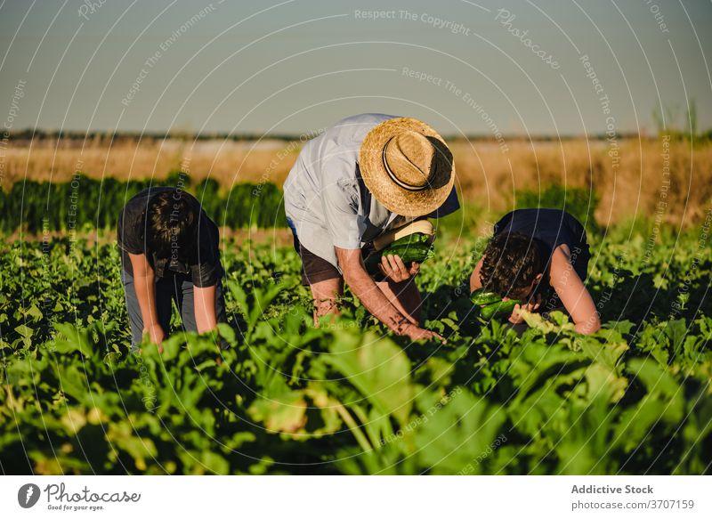 Landwirt mit Kindern bei der Ernte von Gemüse auf dem Feld Zusammensein pflücken abholen Zucchini grün Ackerbau frisch organisch Bauernhof natürlich Enkel