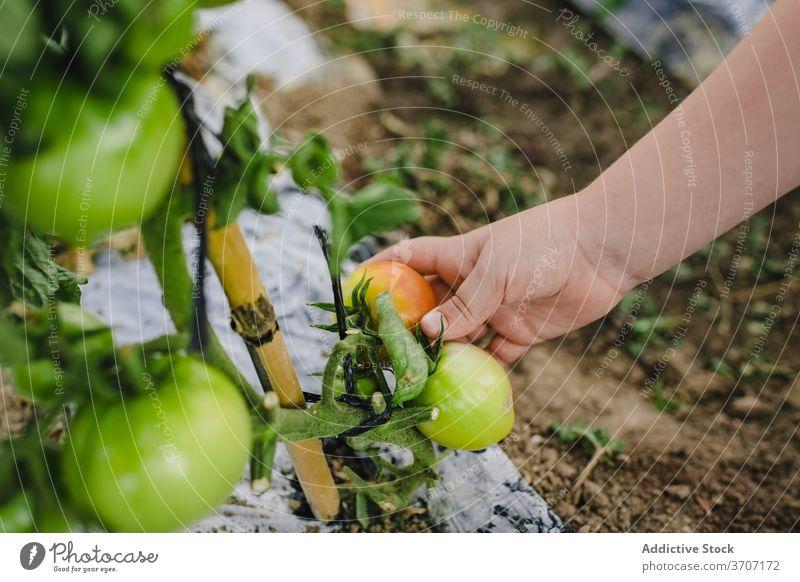 Anonymes Kind, das sich um Tomatenpflanzen im Garten kümmert Gemüse grün Ernte Sommer Junge Krawatte pflücken Hände organisch Ackerbau Bauernhof natürlich