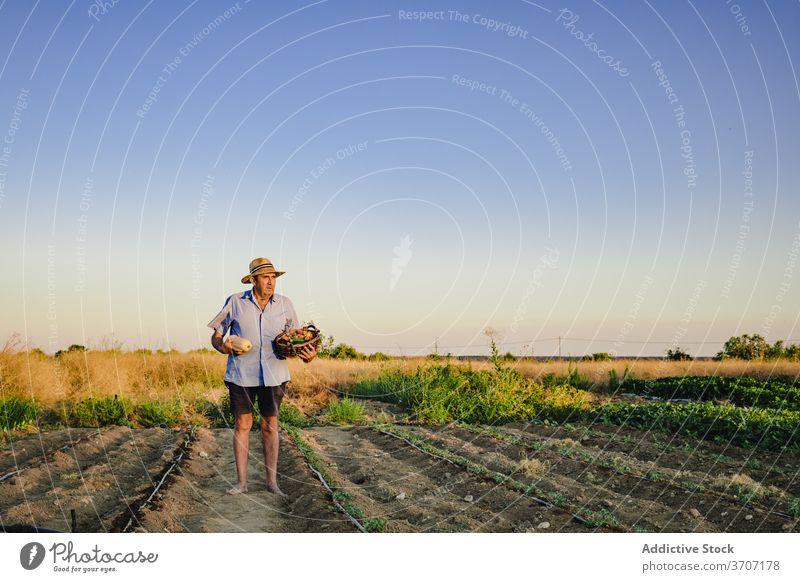 Senior männlicher Gärtner mit Korb der Ernte Landwirt Mann Dorf Landschaft Garten Bett gealtert Ackerbau organisch Lebensmittel reif Saison natürlich grün