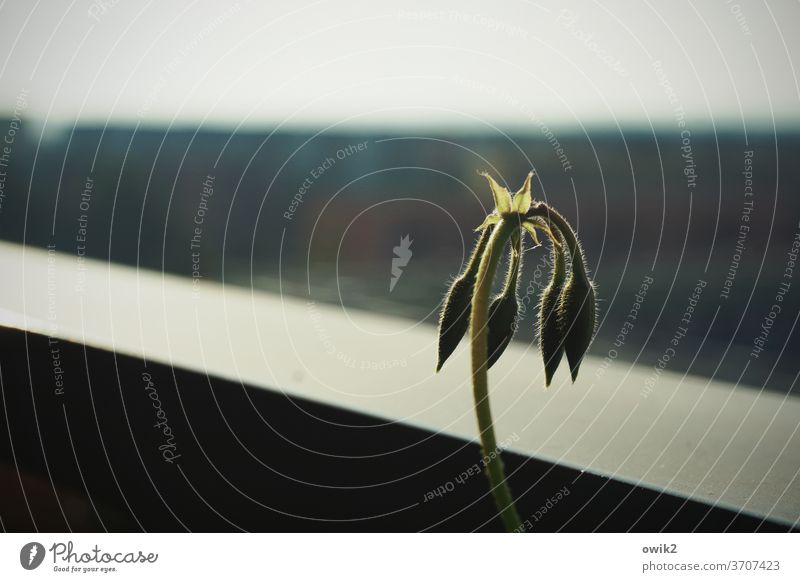 Müde Geranie Pelargonie Außenaufnahme Detailaufnahme Farbfoto Wachstum Hoffnung Nahaufnahme Natur Licht Kontrast Pflanze Blume Balkonpflanze Schönes Wetter