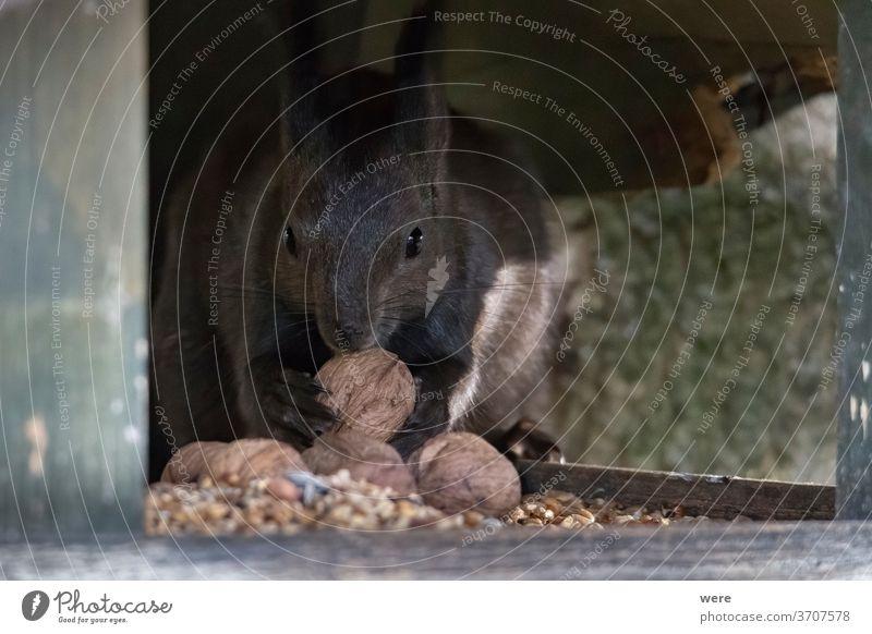 Europäisches Braunes Eichhörnchen im Wintermantel auf einem Ast im Wald Hintergrund Sciurus vulgaris Tier Niederlassungen Textfreiraum kuschlig kuschelig weich