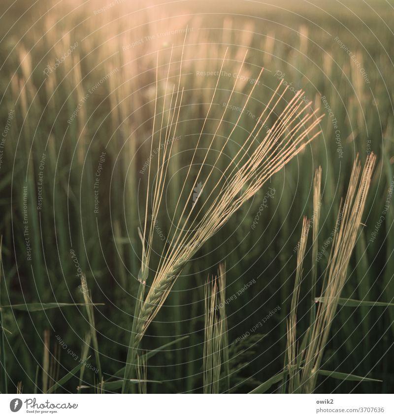 Garben Gerstenähre Gerstenfeld Nutzpflanze Schönes Wetter Pflanze Landschaft Natur Umwelt Feld leuchten glänzend nah Wärme ruhig Reinheit Idylle Getreidefeld