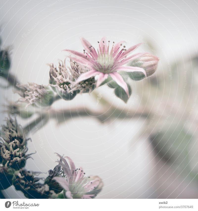 Gemeiner Hauswurz Dickblattgewäche Pflanze Sukkulenten Nahaufnahme Blatt Blüte Natur grün Farbfoto Botanik Gedeckte Farben Detailaufnahme