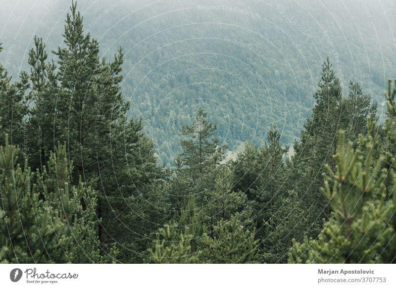 Blick auf eine schöne neblige Kiefer in den Bergen Abenteuer Hintergrund Wolken wolkig dunkel Morgendämmerung Ökologie Umwelt erkunden Nebel Wald grün Dunst