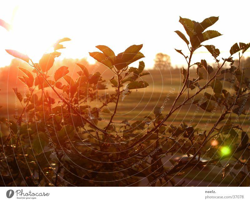 SONNE | BUSCH Sonne Blatt hell Sträucher Grünpflanze Blende