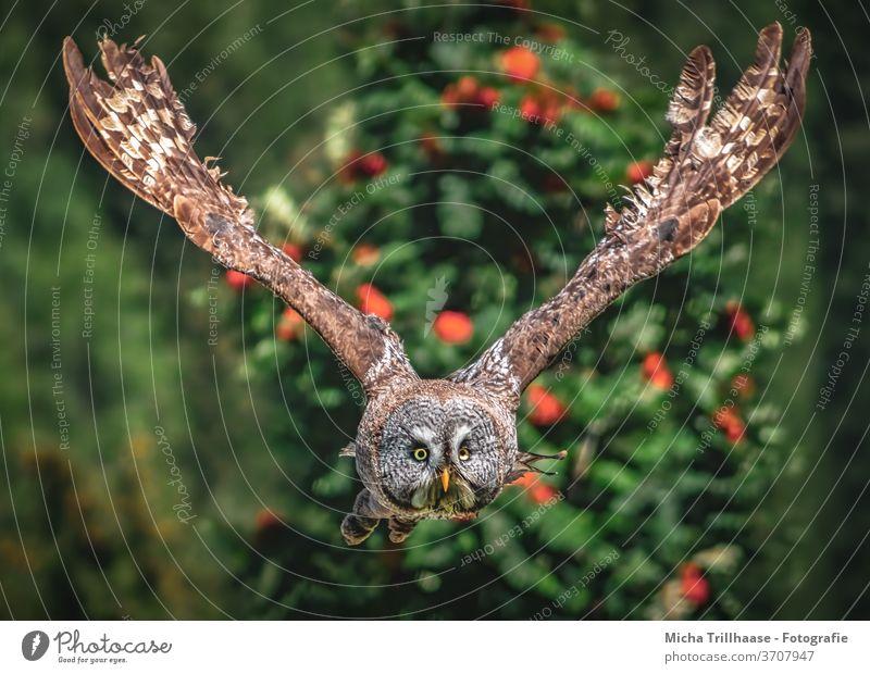 Fliegender Bartkauz Strix nebulosa Kauz Eulen Vogel Greifvogel Wildvogel fliegen Flug Kopf Gesicht Augen Schnabel Flügel Federn Gefieder Flügelspanne