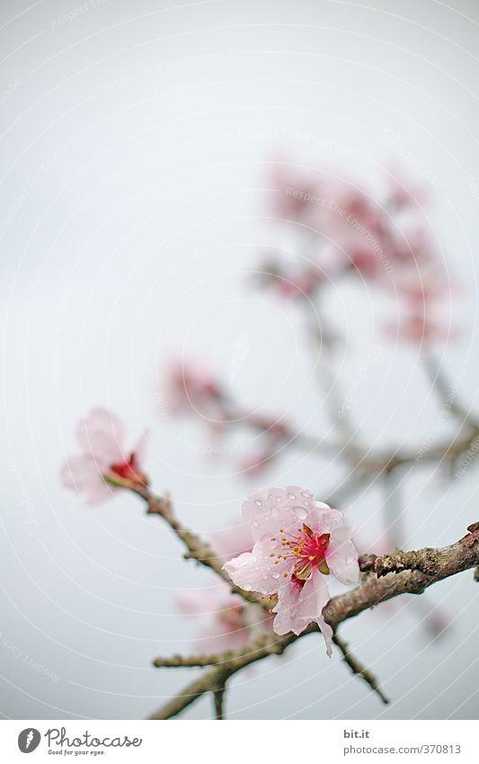 Kirschblüte Dekoration & Verzierung Feste & Feiern Valentinstag Muttertag Natur Pflanze Himmel Frühling Sommer Garten Park Blühend exotisch schön rosa