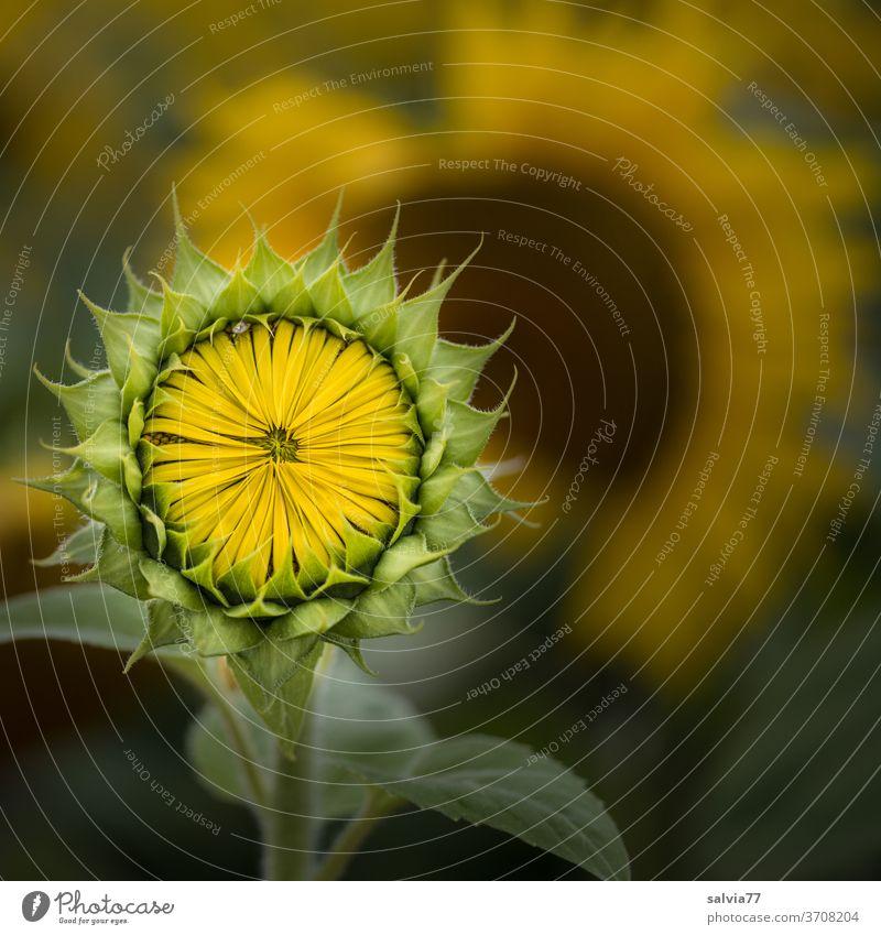sonnige Aussichten Natur Sonnenblume Blüte Blütenknospe Blume gelb Pflanze Garten Makroaufnahme Nutzpflanze Sommer schön Farbfoto Symmetrie Mandala