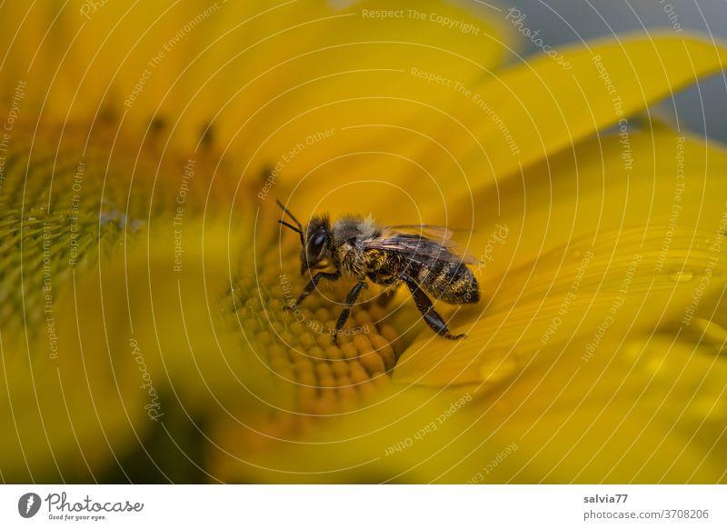 vom Regen überrascht sitzt die Biene auf der Sonnenblume Natur Sommer gelb Makroaufnahme Insekt Blüte Blume Pollen Pflanze Nektar Garten fleißig Duft Honigbiene
