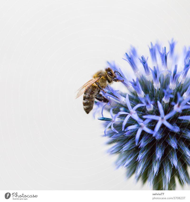 blaue Kugel mit Biene Blume Honigbiene Kugeldistel Natur Makroaufnahme Blüte Sommer Nektar Insekt Pflanze Garten Duft Blühend Nutztier fleißig bestäuben Pollen