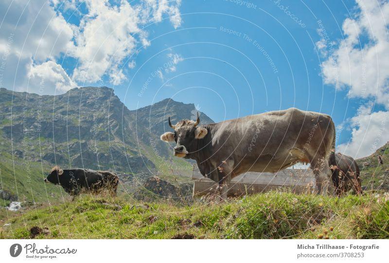 Weidende Kühe in den Alpen Kaunertal Österreich Tirol weiden Kopf Blick Hörner Nutztiere Gras Wiese Berge Gebirge Täler Himmel Wolken Sonne Sonnenschein Natur