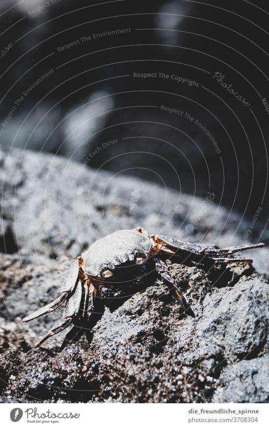 Krabbe auf Felsen Krebs stein Tier Farbfoto Außenaufnahme Meer Natur Nahaufnahme Tag Strand Krebstier Tierporträt Küste Sand krabbeln Menschenleer Schere