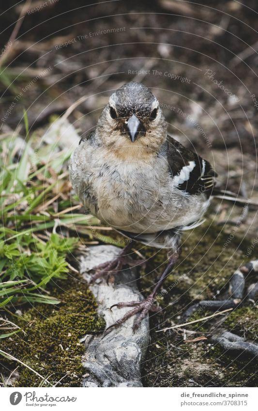 Buchfink auf den Azoren Azoren-Buchfink Fink Vogel Tier Tierportrait niedlich klein Farbfoto Natur Außenaufnahme Tierporträt Nahaufnahme Baum