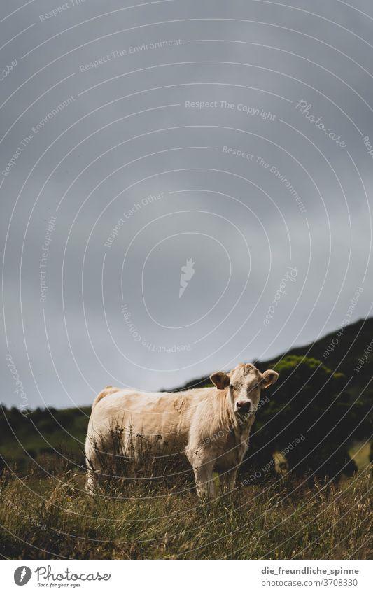Kuh auf der Wiese Rind Tier Weide Landwirtschaft Säugetier Gras Blick Natur Außenaufnahme Fell weiß himmel wieseberge grau wetter Landschaft Bauernhof grün