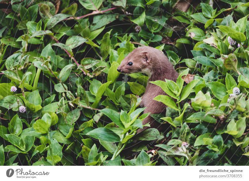 Mauswiesel auf den Azoren Frettchen Marder Tier Wildtier Farbfoto Tag Außenaufnahme Natur niedlich Fell Tierporträt Nagetiere Neugier Umwelt Menschenleer klein