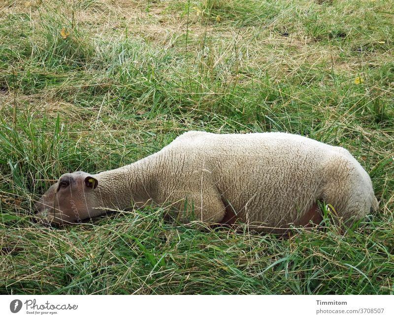 Pause - jetzt! Schaf Pause machen schlummern Tier Erholung Natur ruhig Gras Wiese Menschenleer liegen schlafen grün
