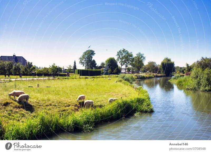 Schöne grüne Sommerlandschaft in den Niederlanden mit weidenden Schafen und einem ruhigen Bachlauf, Landschaft holländisch Weide Feld Ackerbau ländlich Wiese