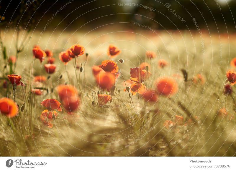 Mohnblumen im Sonnenuntergang Feld Wiese Getreide Stimmung Natur Natura rot Blüte Blume Mohnblüte Mohnfeld Wildpflanze Landschaft Sonnenlicht Außenaufnahme