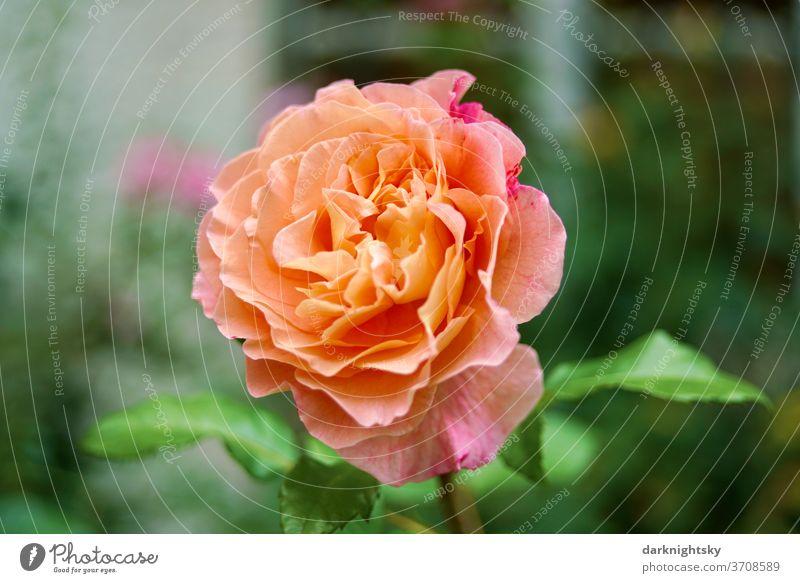Prächtige orangerote Rosen Blüte in einem Garten zur Sommerzeit Liebe Schönheit schöne Nahaufnahme Außenaufnahme gelbe rose rosa Zucht Menschenleer Duft Blume