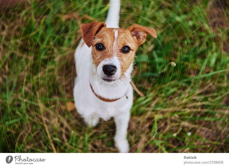 Hund auf der Wiese an einem Sommertag. Jack Russel Terrier-Welpe schaut in die Kamera Porträt niedlich Glück Haustier bezaubernd braun Gesicht züchten heimisch