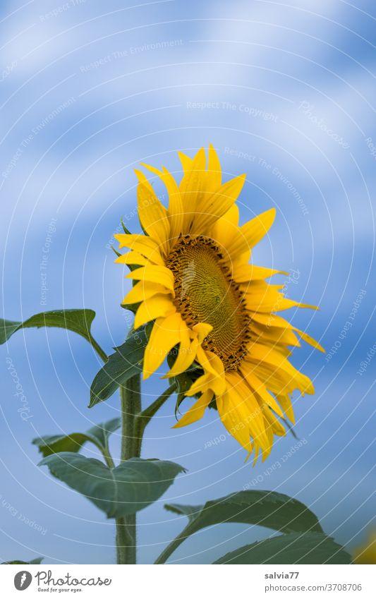 Sommer ade Sonnenblume Blüte Blume Pflanze Blütenblatt Blühend Nahaufnahme schön sonnig natürlich Garten Außenaufnahme gelb blau Farbfoto Natur Nutzpflanze