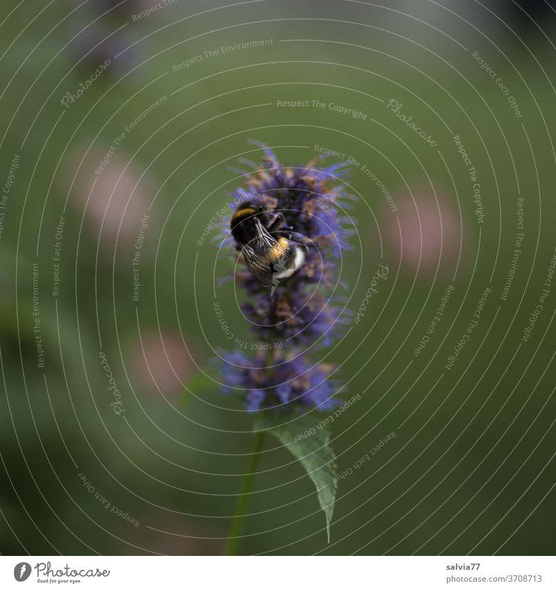 Lieblingsblume der Hummel Duftnessel Agastache Blüte Pflanze Natur Blume Sommer Insekt 1 Schwache Tiefenschärfe Nahaufnahme grün Textfreiraum oben Garten