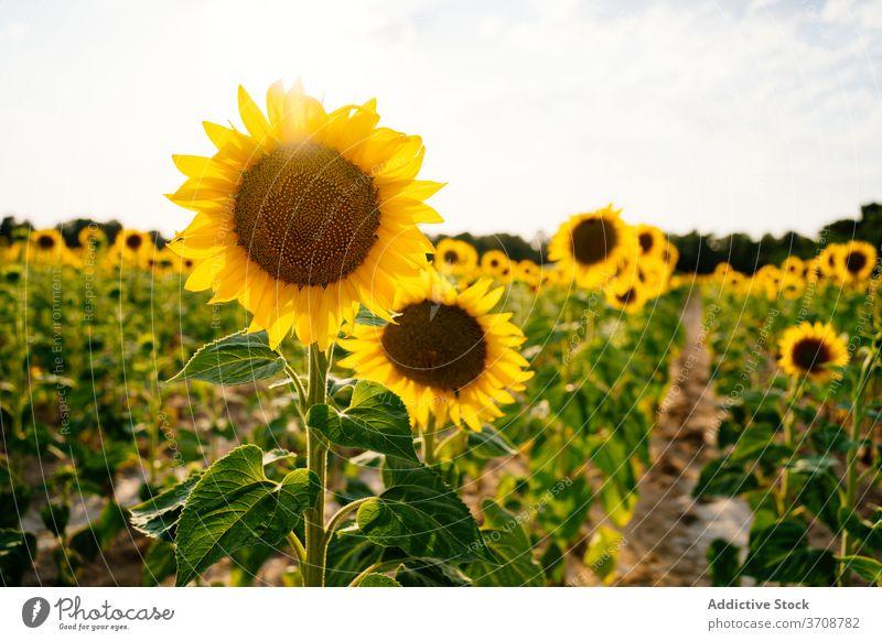 Blühende Sonnenblumen im Sommerfeld Feld Blütezeit gelb Landschaft Natur Ackerbau Umwelt Blume malerisch riesig ländlich Saison Pflanze Bauernhof Flora hell