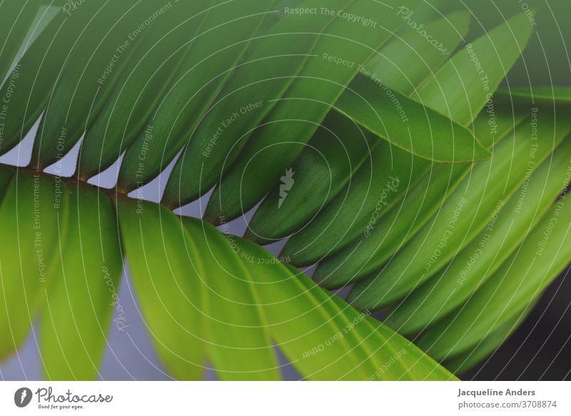 Nahaufnahme von einem Palmenblatt Blatt Pflanze grün Natur Detailaufnahme Außenaufnahme Grünpflanze Farbfoto Palmenwedel Muster Strukturen & Formen Details