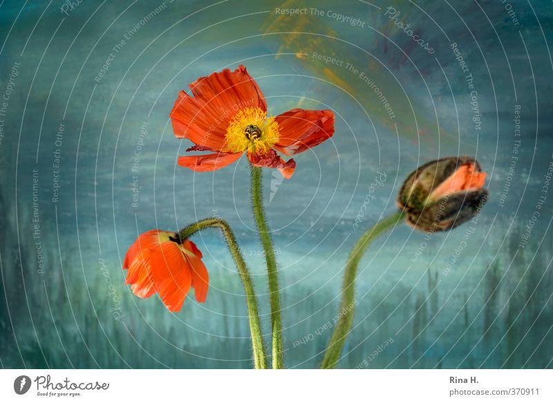 Mohn Blüte blau orange türkis Beginn Vergänglichkeit Blütenknospen Stillleben Farbfoto Innenaufnahme Menschenleer Schwache Tiefenschärfe