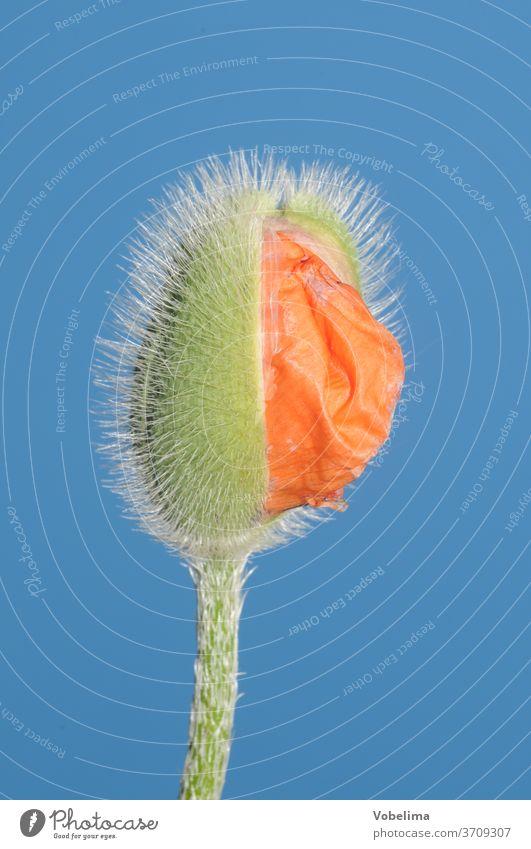 Mohnknospe ziermohn klatschmohn mohnknospe knospen ziermohnblüte klatschmohnblüte orange rot papaver blume blumen natur garten gartenblume pflanze pflanzen